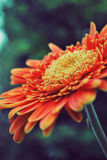 Margherita arancione immagine stock