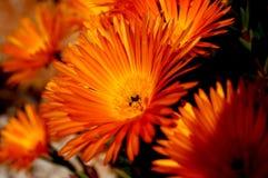 Margherita arancione Fotografia Stock Libera da Diritti