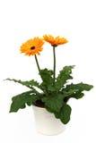 Margherita arancione conservata in vaso del gerber Fotografia Stock