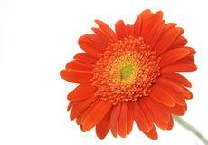 Margherita arancione del gerbera Fotografia Stock