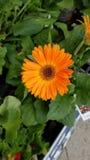 Margherita arancione del gerbera fotografie stock