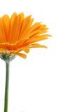 Margherita arancione di Gerber   Fotografie Stock Libere da Diritti