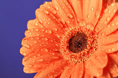 Margherita arancione sulla porpora Fotografia Stock Libera da Diritti