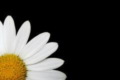 Margherita bianca Immagini Stock
