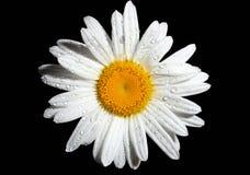 Margherita bianca Immagine Stock Libera da Diritti