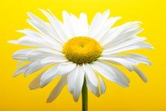 Margherita bianca Fotografie Stock