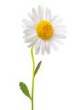 Margherita bianca Fotografie Stock Libere da Diritti