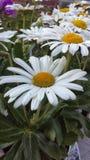 Margherita bianca fotografia stock libera da diritti