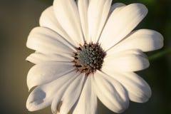 Margherita bianca Fotografia Stock