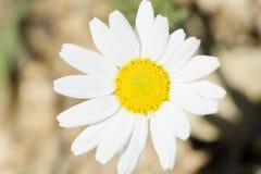 Margherita bianca comune fotografata vicino su Fotografie Stock Libere da Diritti