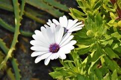 Margherita bianca con cuore viola immagine stock