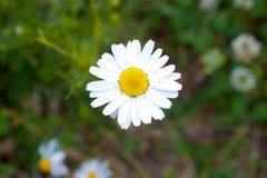 Margherita bianca con il centro giallo che cresce nel prato fotografia stock libera da diritti