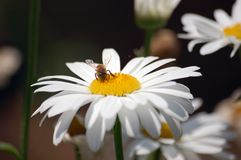 Margherita bianca con un ape Fotografia Stock Libera da Diritti