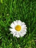 Margherita bianca del giardino immagini stock