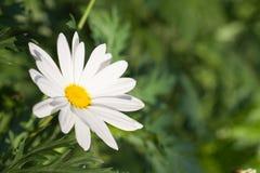 Margherita bianca del sole Fotografie Stock