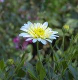 Margherita bianca e gialla meravigliosa fotografia stock