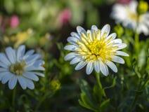Margherita bianca e gialla meravigliosa fotografie stock libere da diritti