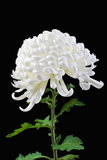 Margherita bianca isolata 2 Fotografia Stock Libera da Diritti