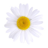 Margherita bianca isolata Fotografia Stock Libera da Diritti