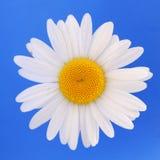 Margherita bianca isolata Fotografie Stock