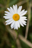 Margherita bianca singola Fotografia Stock Libera da Diritti