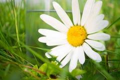 Margherita bianca vicino a vetro di acqua in erba Fotografia Stock