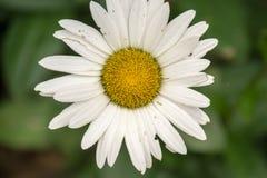 Margherita bianca - vulgare del Leucanthemum Fotografie Stock