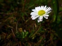 Margherita - bianco fotografia stock