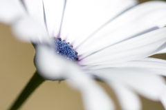 Margherita blu Fotografie Stock