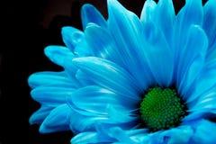 Margherita blu di Gerber fotografia stock libera da diritti