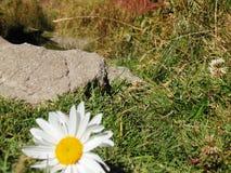 Margherita che si trova sull'erba fotografia stock