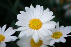 Margherita dei campi del Leucanthemum bianco Immagine Stock