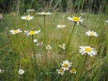 Margherita dei campi & x28; Vulgare& x29 del Leucanthemum; fiori in erba fotografia stock