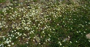 Margherita del fiore della primavera immagini stock