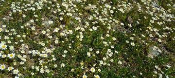 Margherita del fiore della primavera immagine stock