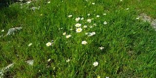 Margherita del fiore della primavera fotografia stock