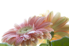 Margherita del Gerbera Fotografia Stock