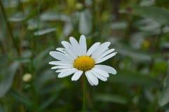 Margherita del primo piano con i bei petali bianchi nel prato immagini stock