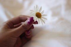 Margherita delicata Fotografia Stock
