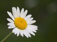 Margherita della primavera Fotografie Stock