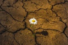 Margherita della terra asciutta del fiore nel deserto immagini stock libere da diritti