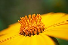 Margherita di Heliopsis Immagine Stock