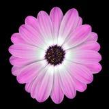 Margherita di Osteospermum o fiore dentellare della margherita del capo Fotografia Stock