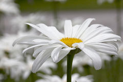 Margherita di Shasta - Becky fotografie stock