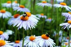 Margherita e api Fotografia Stock Libera da Diritti
