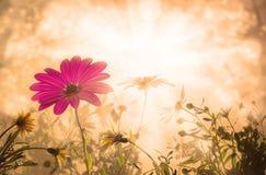 Margherita, fiori di alba della molla Fotografia Stock