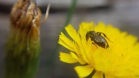 Margherita gialla -与昆虫的黄色雏菊 库存图片