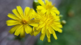 Margherita gialla -黄色daisys 库存照片