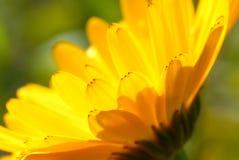 Margherita gialla immagini stock