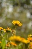 Margherita gialla fotografia stock